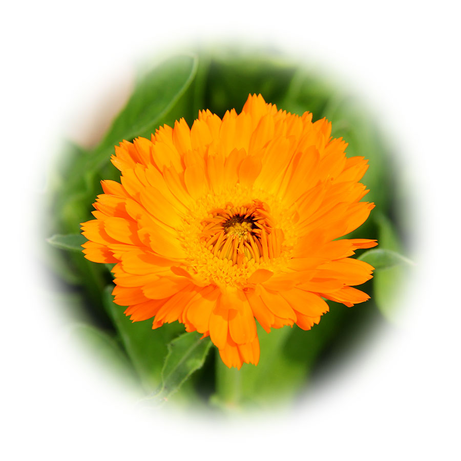 calendula-officinalis